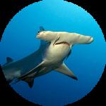 hammerhead-shark-gordo-banks