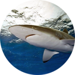 silky sharks at gordo banks